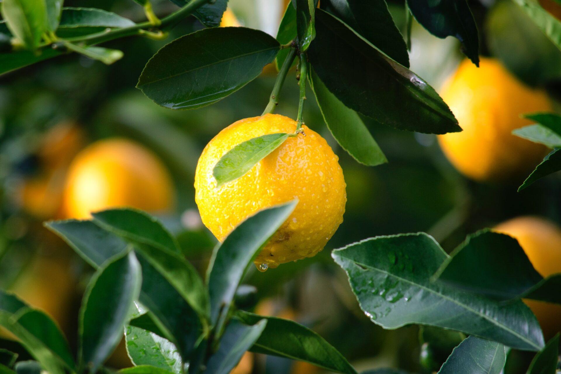 Citrus: Orange Grove