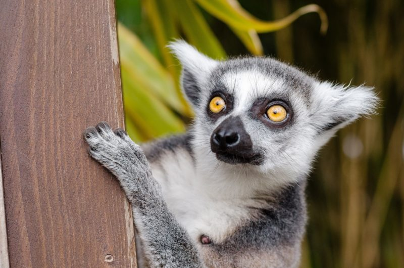 Lemur from Madagascar