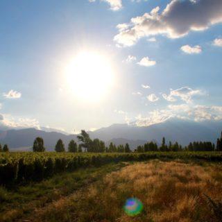 Pinot Grigio: Vineyard