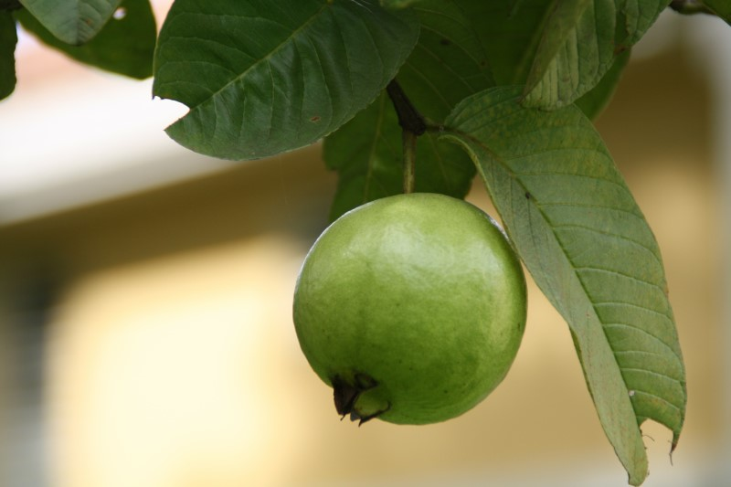 Hyaluronic Acid: Guava