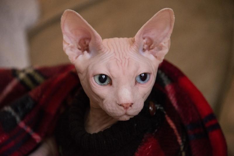 Cat Allergies: Hairless Cat