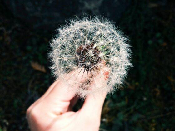 Allergy: Dandelion